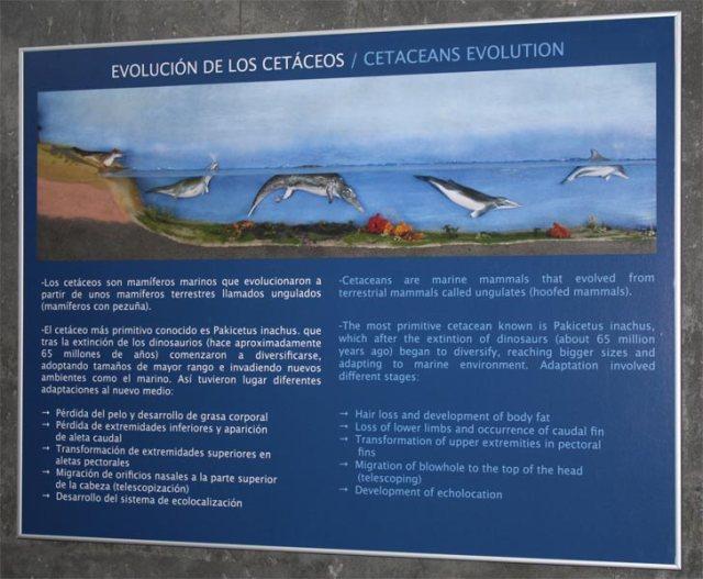 Cartel explicativo de la evolución de los cetáceos del CICAM de Tarifa